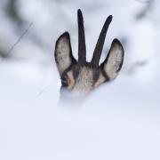 chamois hiver 1