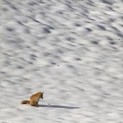 renard en hiver 5