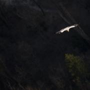 L'éclat blanc du percnoptère, Drôme
