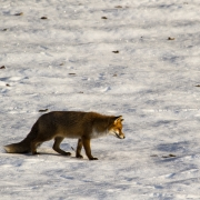 renard en hiver 2