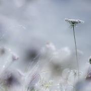 fleurs des champs dans la rosée du matin, Saint Julien