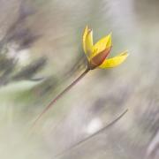 tulipe sauvage 10