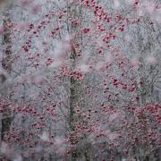 Sorbier en hiver
