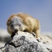 marmotte automne 1
